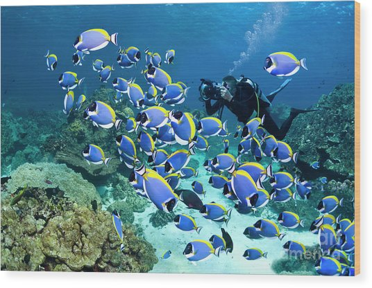 Powderblue Surgeonfish Wood Print