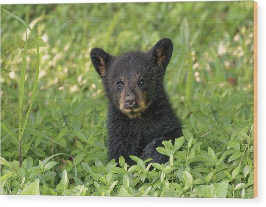 Young Black Bear Cub, Ursus Americanus Wood Print by Adam Jones