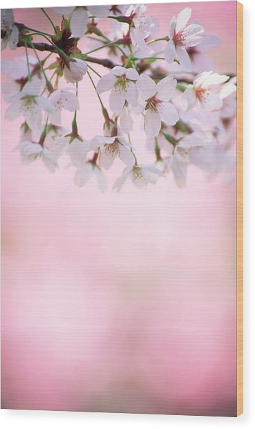 Cherry Blossoms Wood Print by Ooyoo