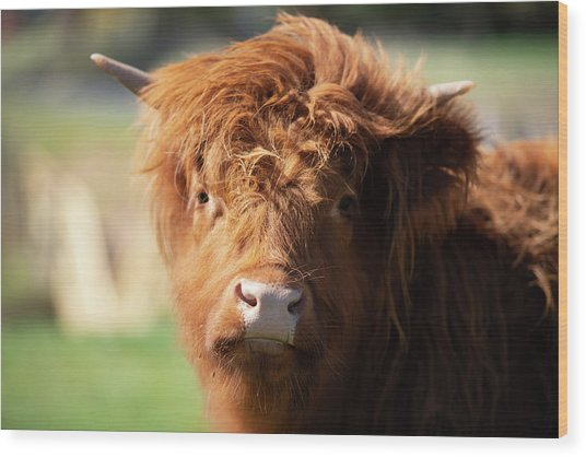 Highland Cow On The Farm Wood Print