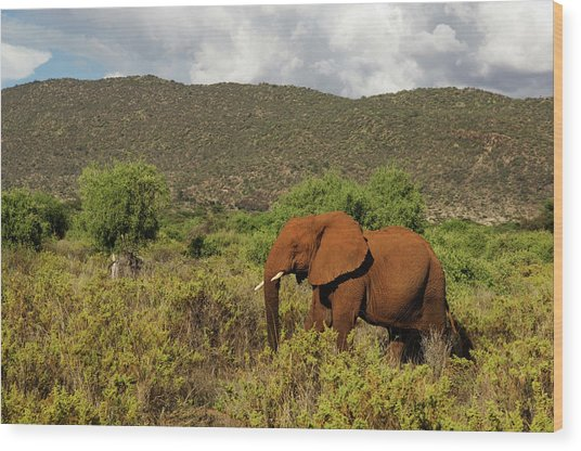 African Elephant Loxodonta Africana Wood Print by Ariadne Van Zandbergen