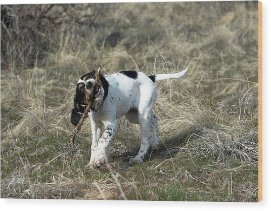 English Setter Puppy, 14 Weeks Wood Print by William Mullins