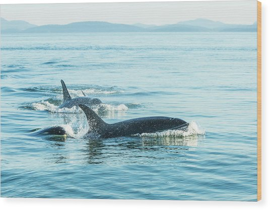 Surfacing Resident Orca Whales Wood Print by Stuart Westmorland