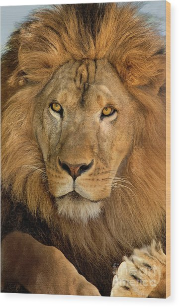 Wood Print featuring the photograph 656250006 African Lion Panthera Leo Wildlife Rescue by Dave Welling