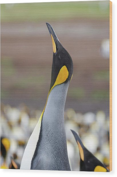King Penguin On The Falkland Islands Wood Print by Martin Zwick