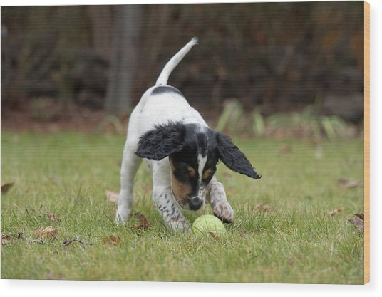 English Setter Puppy, 8 Weeks Wood Print by William Mullins