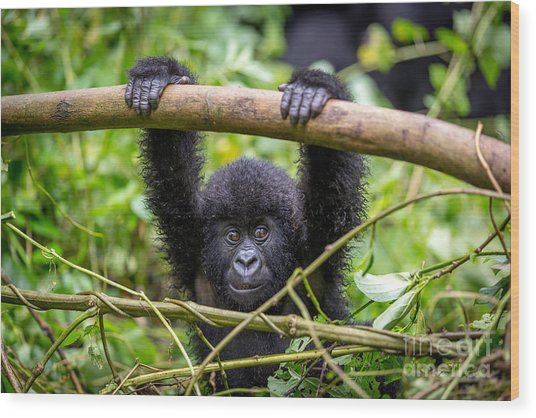 A Baby Gorila Inside The Virunga Wood Print by Lmspencer