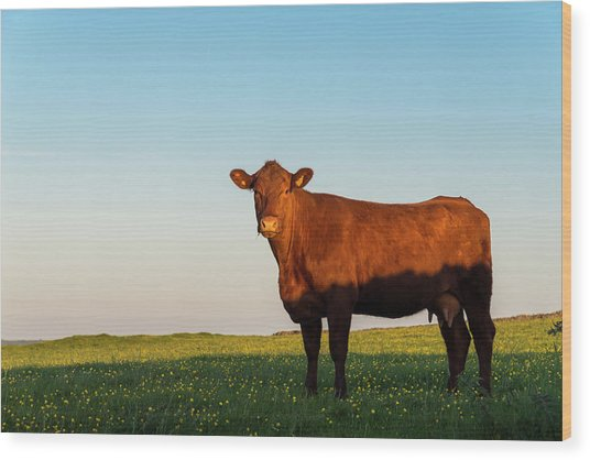 A Brown Cow On A Summer Evening Wood Print by Photos By R A Kearton