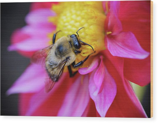 A Bumblebee On A Flower Wood Print