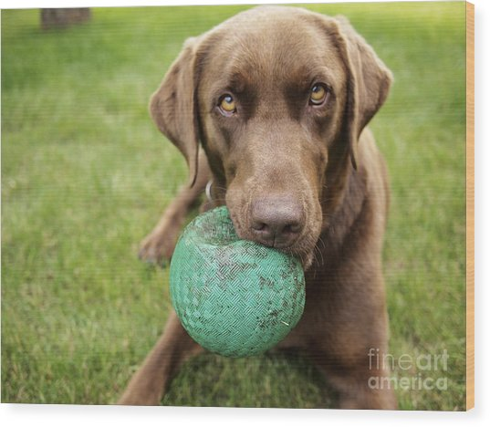 A Chocolate Labrador Holds A Green Ball Wood Print