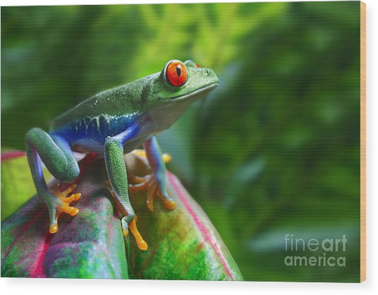 A Colorful Red-eyed Tree Frog In Its Wood Print