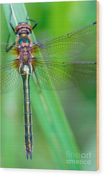 A Dragonfly Cordulia Aenea Warming Its Wood Print