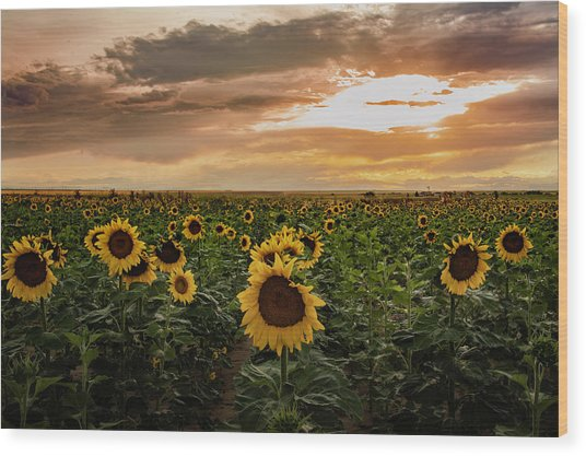 A Field Of Sunflowers At Sunset Wood Print