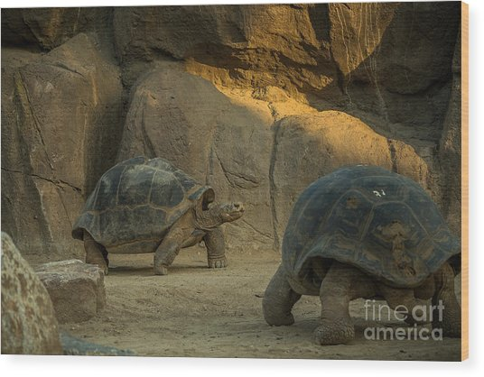 A Giant Galapagos Turtles On A Walk Wood Print by Awol666