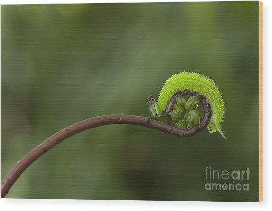 A Green Caterpillar Walked On A Fern Wood Print by Robby Fakhriannur