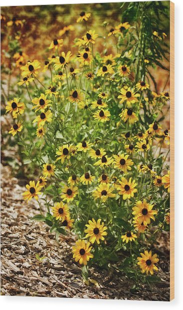 A Group Of Bossoming Black-eyed Susans Wood Print by Maria Mosolova