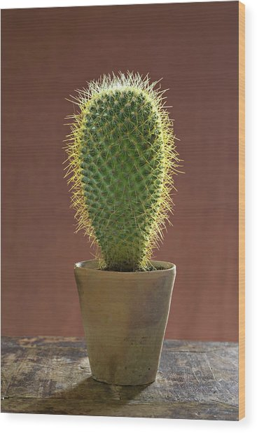 A Large Prickly Succulent Cactus Plant Wood Print by Mint Images/ Helen Norman
