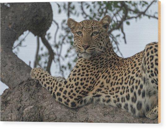 A Leopard Gazes From A Tree Wood Print