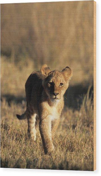 A Lion Cub Advancing Towards The Camera Wood Print