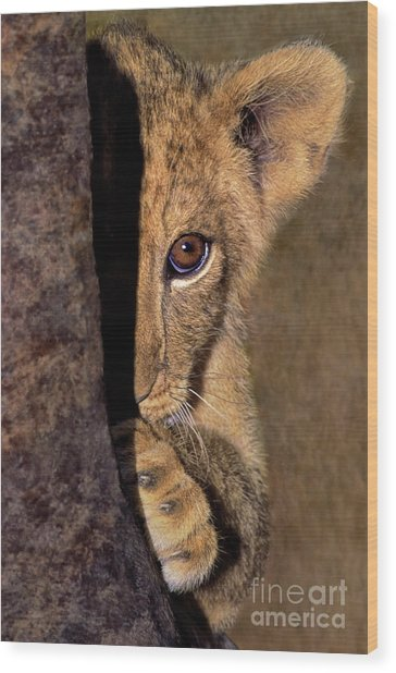 A Lion Cub Plays Hide And Seek Wildlife Rescue Wood Print