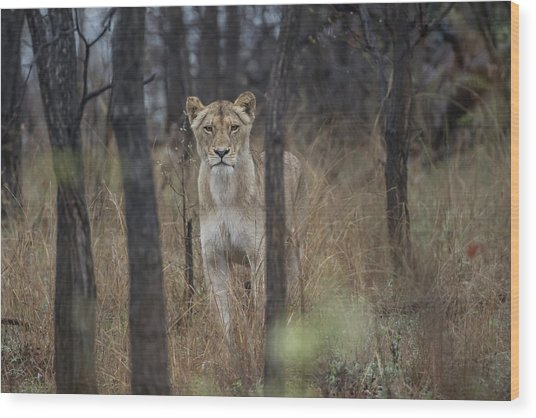A Lioness In The Trees Wood Print