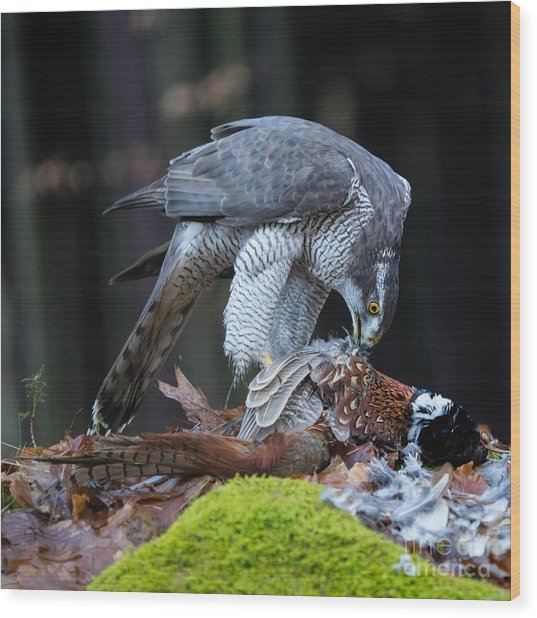 A Male Goshawk Feeding On Pheasant In Wood Print