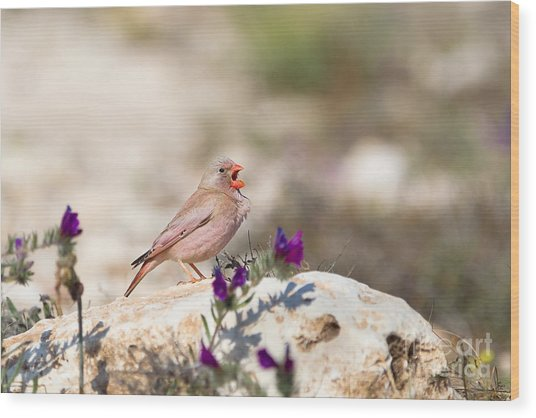 A Male Trumpeter Finch Bucanetes Wood Print