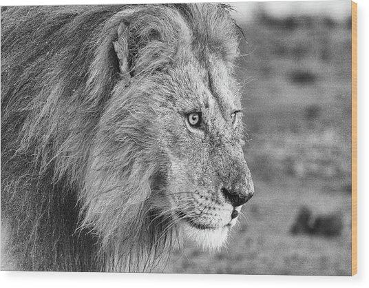 A Monochrome Male Lion Wood Print