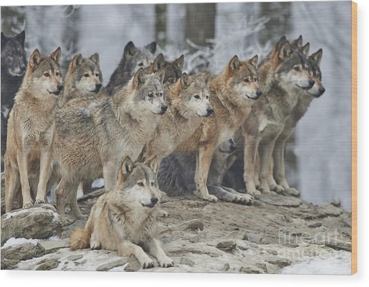 A Pack Of Wolves In Snow Wood Print