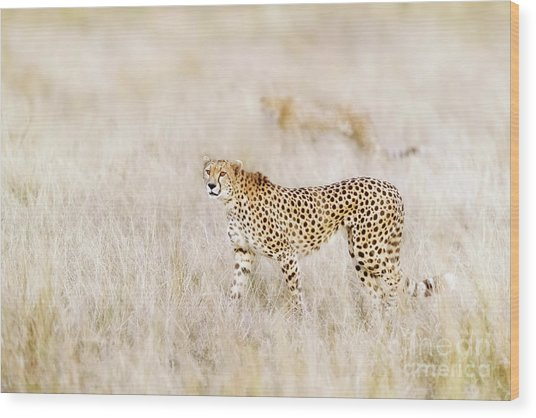 A Pair Of Cheetahs Move Steathily Through The Long Grass Of The  Wood Print