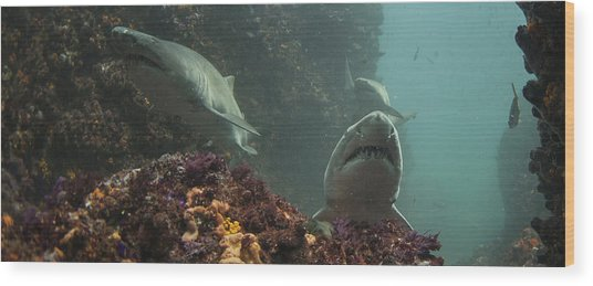 A Trio Of Ragged Tooth Sharks Foraging Wood Print