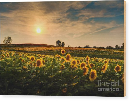 A View Of A Sunflower Field In Kansas Wood Print