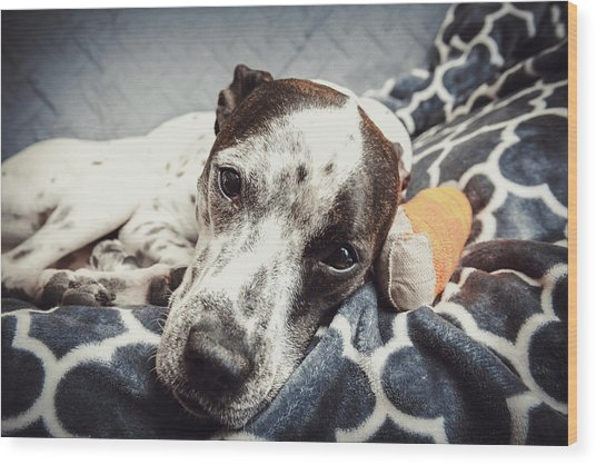 Abbey And Her Injured Paw Wood Print