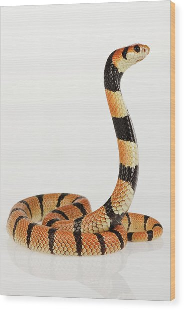 African Coral Snake Against White Wood Print