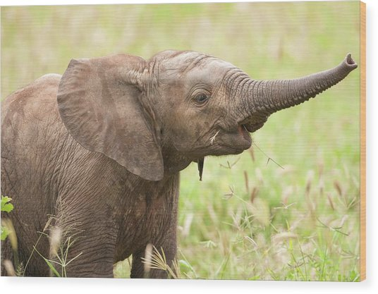 African Elephant Loxodonta Africana Wood Print by Photostock-israel/science Photo Library