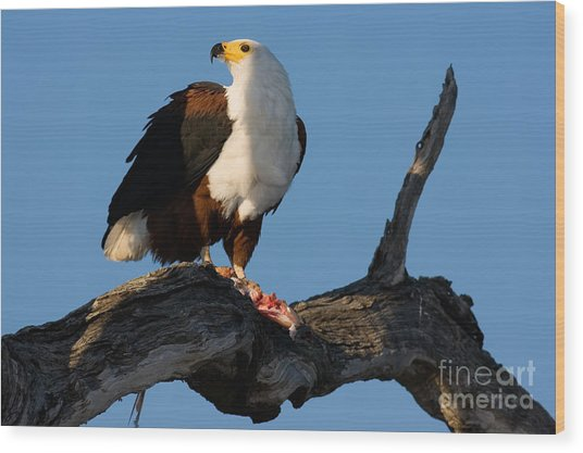 African Fish Eagle Haliaeetus Vocifer Wood Print