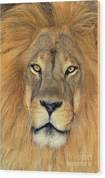 African Lion Portrait Wildlife Rescue Wood Print