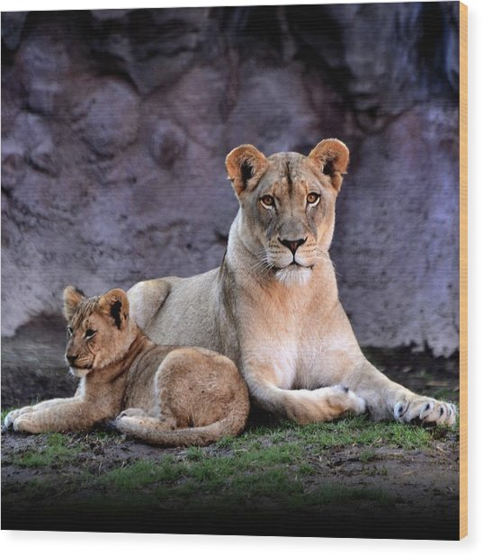 African Lion With Cub Wood Print