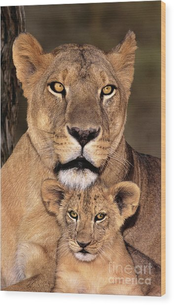 African Lions Parenthood Wildlife Rescue Wood Print