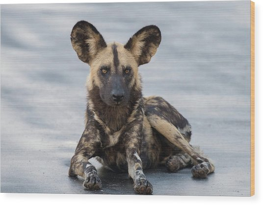 African Wild Dog Resting On A Road Wood Print