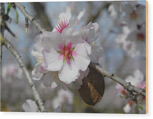 Almond Blossom And Almond Nut. Spain Wood Print by Josie Elias