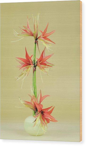 Amaryllis Hippeastrum La Paz Wood Print