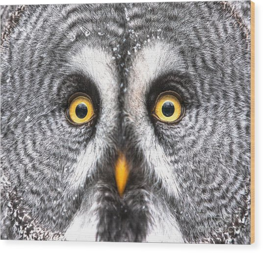 Amazed Great Grey Owl Hdr Wood Print