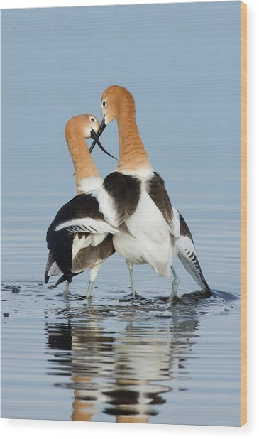 American Avocets, Courtship Dance Wood Print by Ken Archer