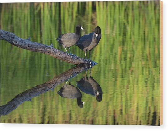 American Coot In Pond Wood Print by Larry Ditto