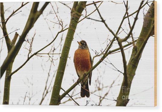 American Robin Perching In A Wintertime Tree Wood Print