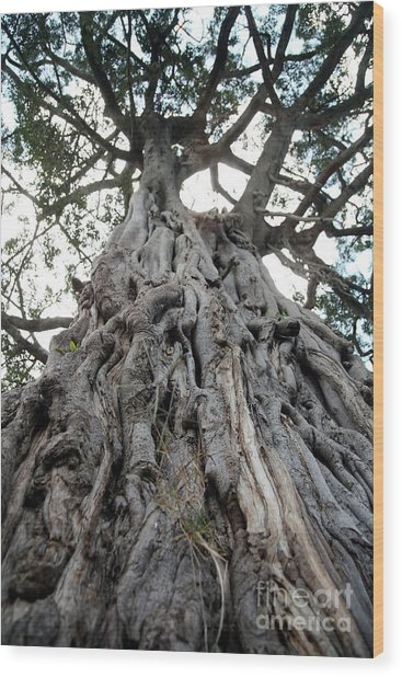 Ancient Olive Tree In The Masai Mara Wood Print