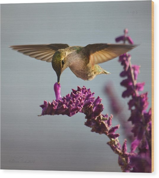Anna's Hummingbird Sipping Nectar From Salvia Flower Wood Print
