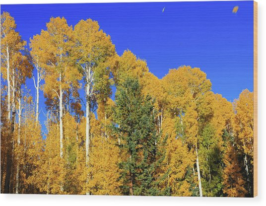 Arizona Aspens And Blowing Leaves Wood Print