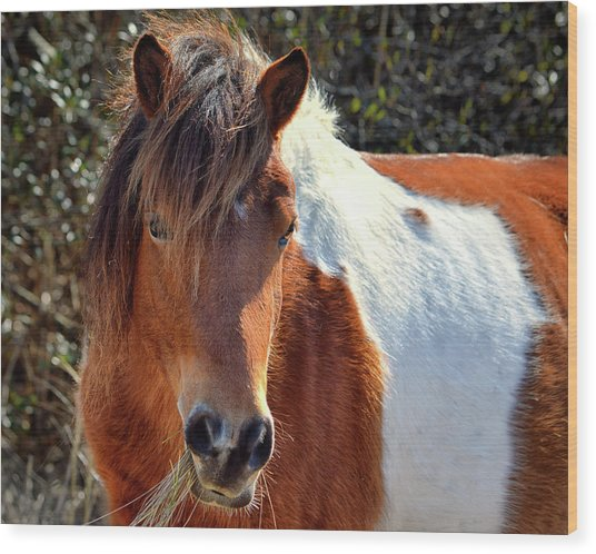 Wood Print featuring the photograph Assateague Pinto Mare Ms Macky by Bill Swartwout Fine Art Photography